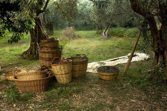 https://rankz.io/app/static/media/orderImage/blog/2020/09/24/harvested-olives_Greece-1-1.jpg